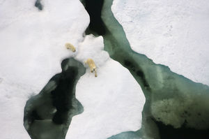 north american wildlife/polar bear ursus maritimus aerial view sow cub