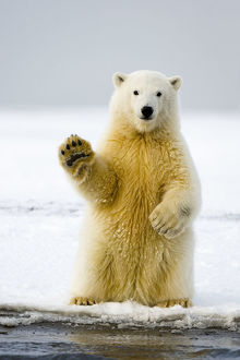 baby animals/polar bear ursus maritimus curious cub sits