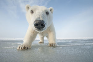north american wildlife/polar bear ursus maritimus curious young bear