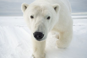 polar bears/polar bear ursus maritimus curious young bear
