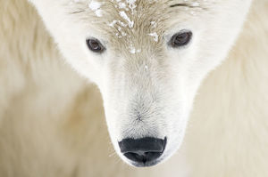 latest highlights/highlights 2010/polar bear ursus maritimus head close up portrait