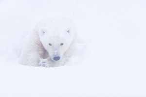 north american wildlife/polar bear ursus maritimus huddled snow churchill