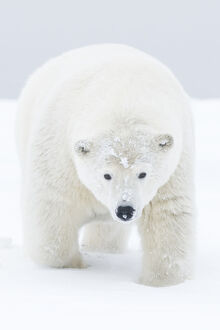 latest highlights/highlights 2011/polar bear ursus maritimus portrait curious