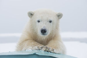 polar bears/polar bear ursus maritimus portrait yearling