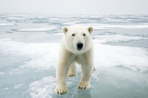 christmas/polar bear ursus maritimus sea ice off coast