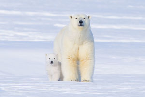 latest highlights/highlights 2010/polar bear ursus maritimus sow cub outside den