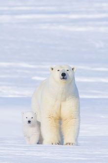 polar bears/polar bear ursus maritimus sow cub outside den