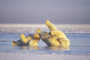 latest highlights/highlights 2013/polar bear ursus maritimus sow cub sliding backs