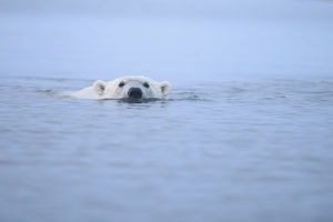 polar bears/polar bear ursus maritimus swimming surface