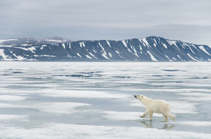polar bears/polar bear ursus maritimus traveling coast sea