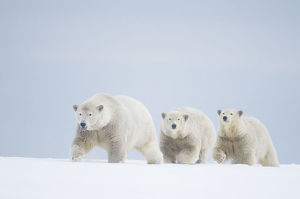 latest highlights/highlights 2011/polar bears ursus maritimus female cubs aged