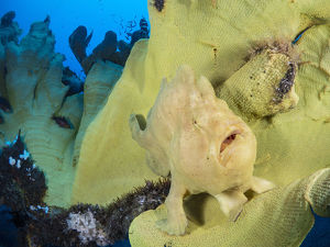 october 2019 highlights/portrait giant frogfish antennarius commersoni