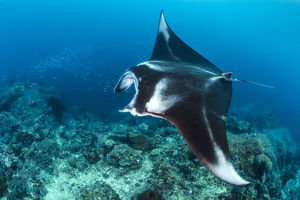 october 2019 highlights/portrait large female reef manta ray mobula alfredi