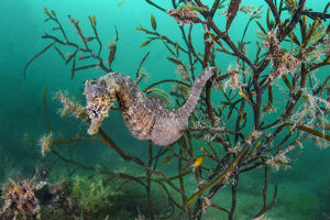 october 2019 highlights/portrait male short snouted seahorse hippocampus