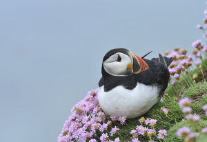 robert thompson/puffin fratercula arctica sea thrift great