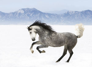 latest highlights/highlights 2009/purebred grey andalusian mare running snow longmont