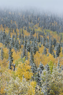 highlights 2015/quaking aspen trees populus tremuloides conifers