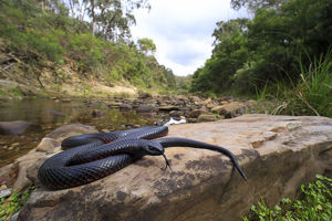 july 2019 highlights/red bellied blacksnake pseudechis porphyriacus
