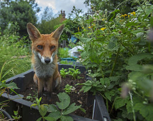 july 2019 highlights/red fox vulpes vulpes allotment north london