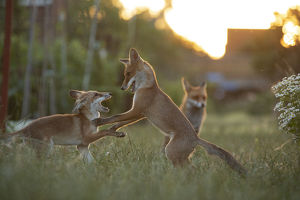 july 2019 highlights/red fox vulpes vulpes cubs play fighting north
