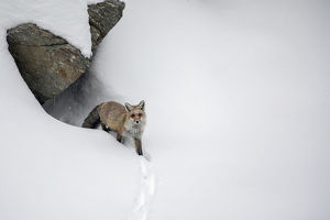 july 2019 highlights/red fox vulpes vulpes deep snow emerging den
