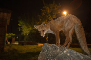 july 2019 highlights/red fox vulpes vulpes night north london england