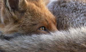 july 2019 highlights/red fox vulpes vulpes resting curled close up