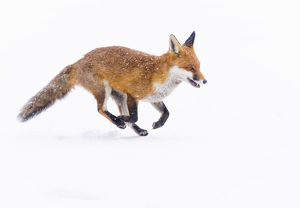 august 2019 highlights/red fox vulpes vulpes running deep snow london uk