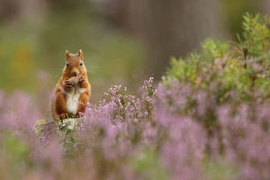 scotland big picture/red squirrel sciurus vulgaris feeding pine cone