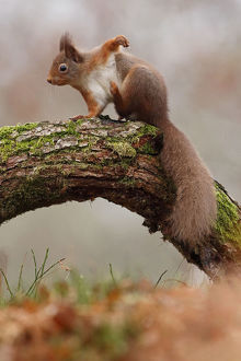 scotland big picture/red squirrel sciurus vulgaris scratching cairngorms