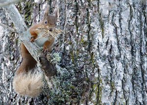 scotland big picture/red squirrel sciurus vulgaris stripped bark