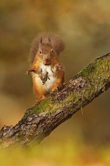 scotland big picture/red squirrel sciurus vulgaris tossing away husk