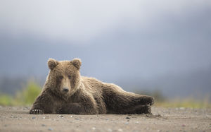 north american wildlife/rf grizzly bear ursus arctos resting lake
