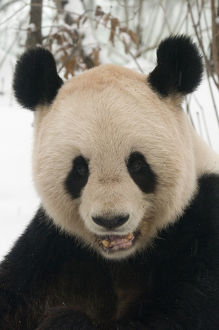 happy/rf head portrait giant panda ailuropoda melanoleuca