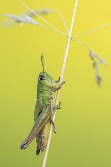 ross hoddinott/rf meadow grasshopper chorthippus parallelus