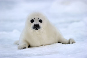 baby animals/rf portrait harp seal phoca groenlandicus