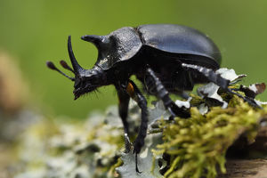 wild wonders china/rhinoceros beetle oryctes sp moss covered tree