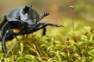december 2018 highlights/rhinoceros beetle oryctes sp moss covered tree
