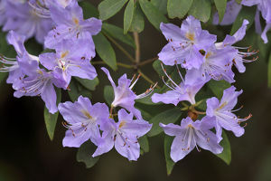 wild wonders china/rhododendron rhododendrons sp flowering tangjiahe