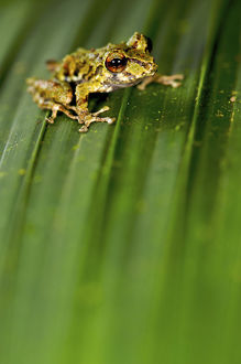 latest highlights/highlights 2013/rio jatuntianhua robber frog pristimantis eriphus