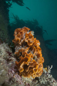 marine life channel islands sue daly/ross bryozoan pentapora fascialis letac sark