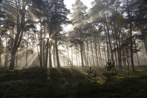 scotland big picture/scots pine forest pinus sylvestris early morning