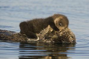 baby animals/sea otter enhydra lutris mother sleeping newborn