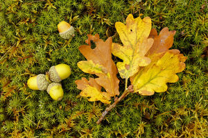 scotland big picture/sessile oak quercus petraea fallen oak leaf
