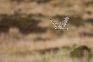 2020vision/1/short eared owl asio flammeus flying moorland