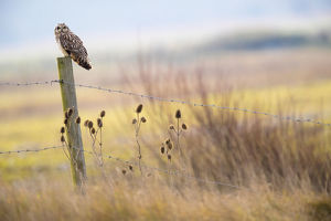 september 2018 highlights/short eared owl asio flammeus looking prey fence