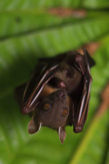 july 2019 highlights/short nosed fruit bat cynopterus brachyotis roosting