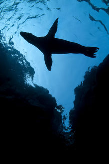 latest highlights/highlights 2011/silhouette california sealion pup zalophus californianus