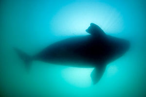 latest highlights/highlights 2013/silhouette southern right whale eubalaena australis