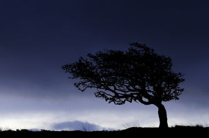 ross hoddinott/silhouette weathered windswept hawthorn tree